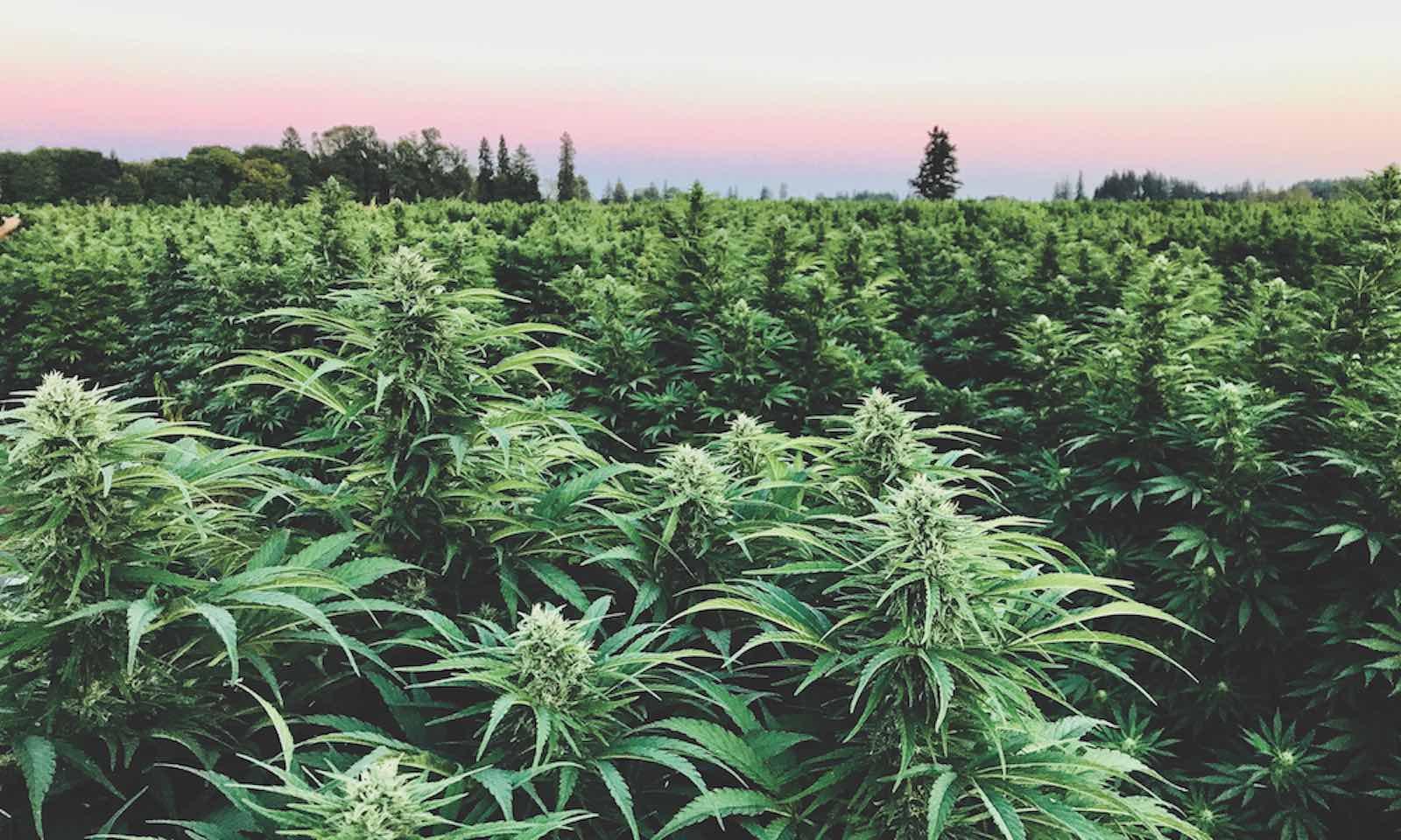 CBG Flower - hemp crops