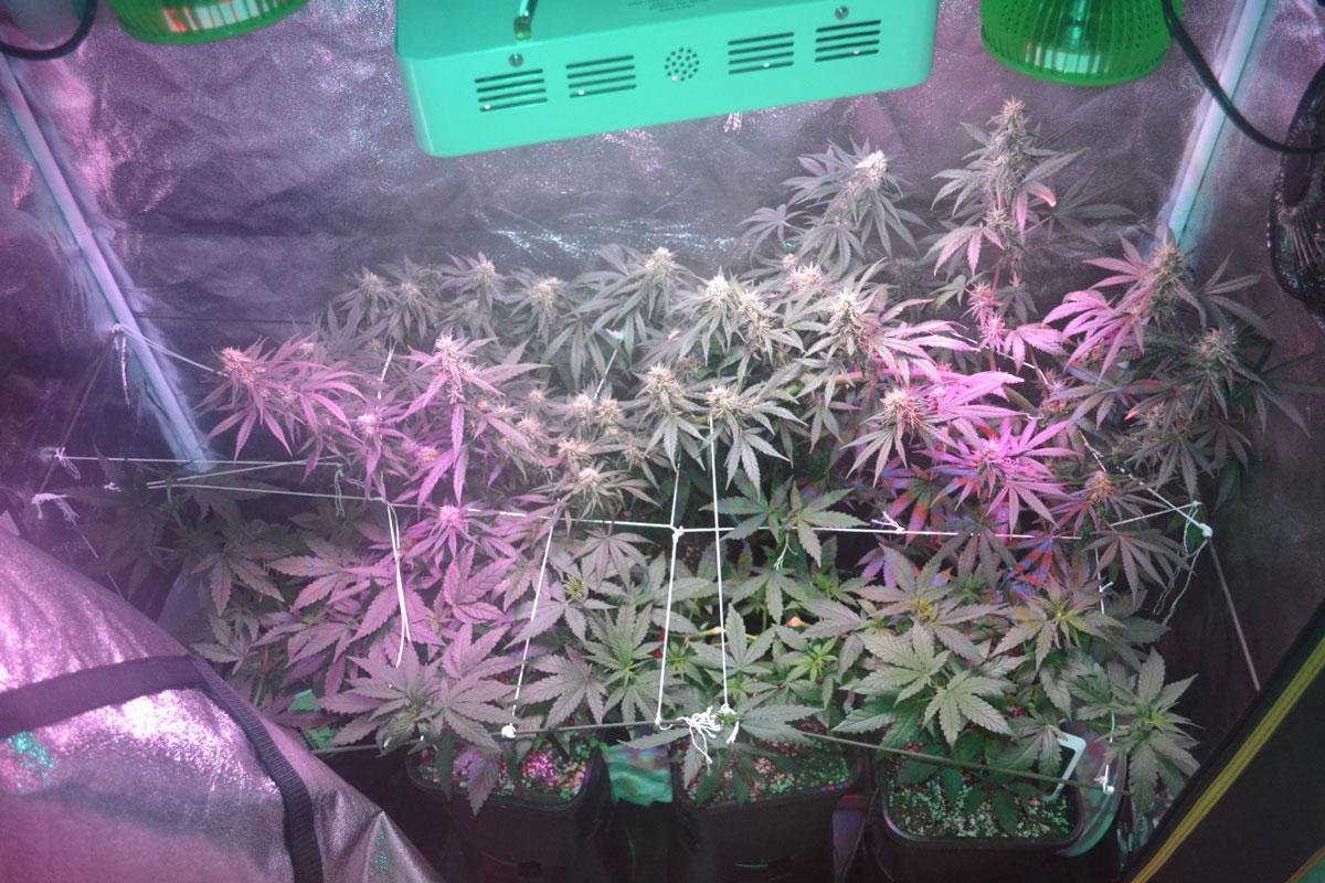 Indoor Hemp Flower, Benefits of Growing Indoor Hemp Flower