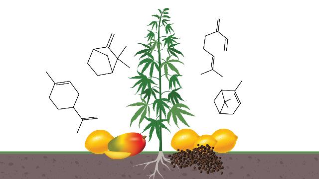Ultimate Guide To Hemp Terpenes